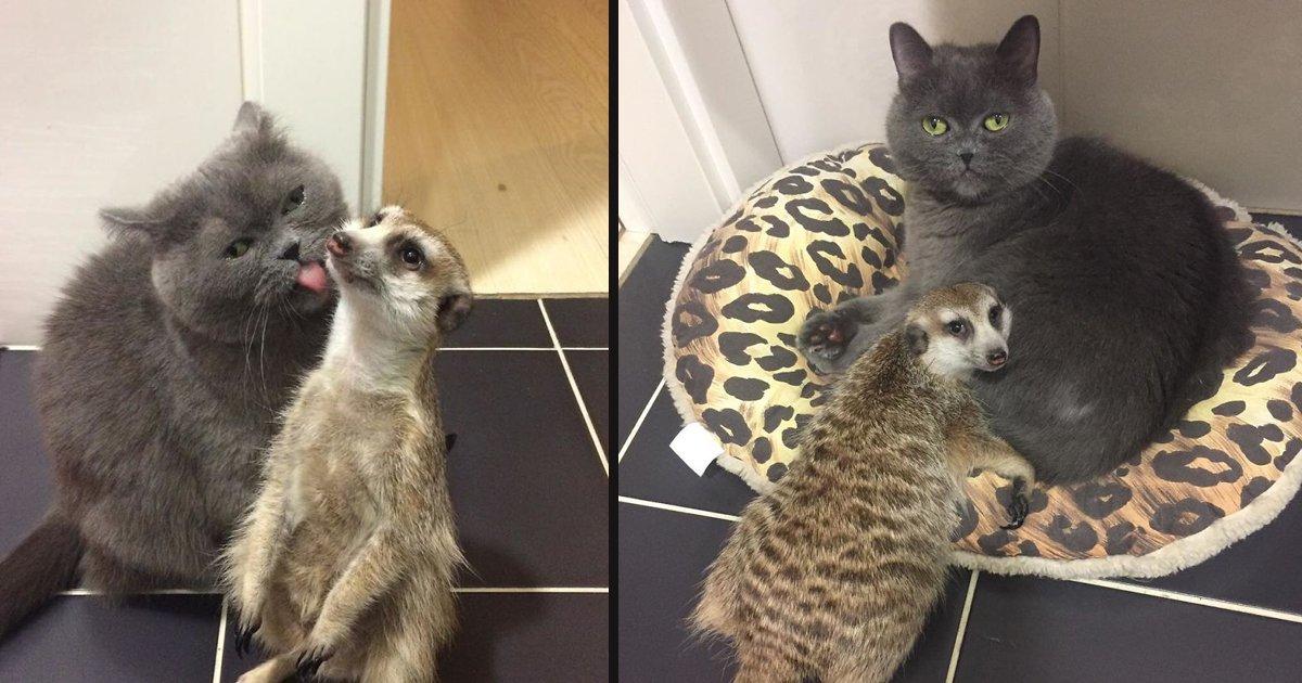 untitled 1 89.jpg?resize=412,232 - Amitié inattendue : Un suricate et un chat sont devenus les meilleurs amis dès le premier jour