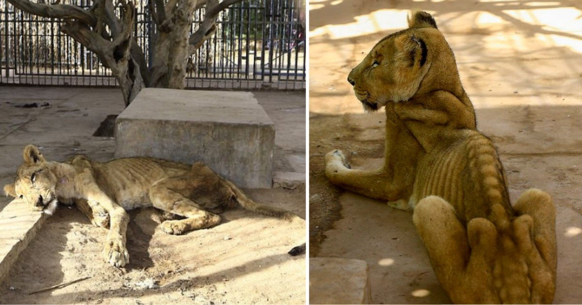 untitled design 1 19.png?resize=1200,630 - Terrifying Images of 5 Malnourished Lions in a Zoo in Sudan Has Sparked A Campaign To Free Them