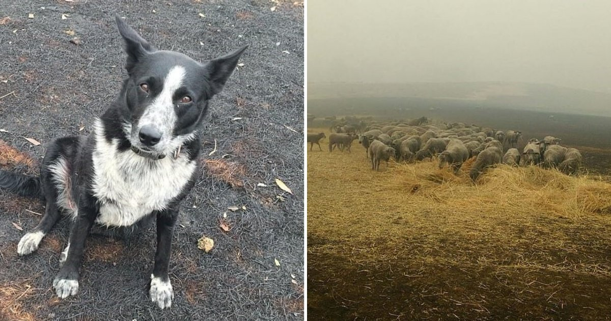 untitled design 1 7.png?resize=1200,630 - Hero Dog Rescued Dozens Of Sheep By Guiding Them Away From Fire To Safety
