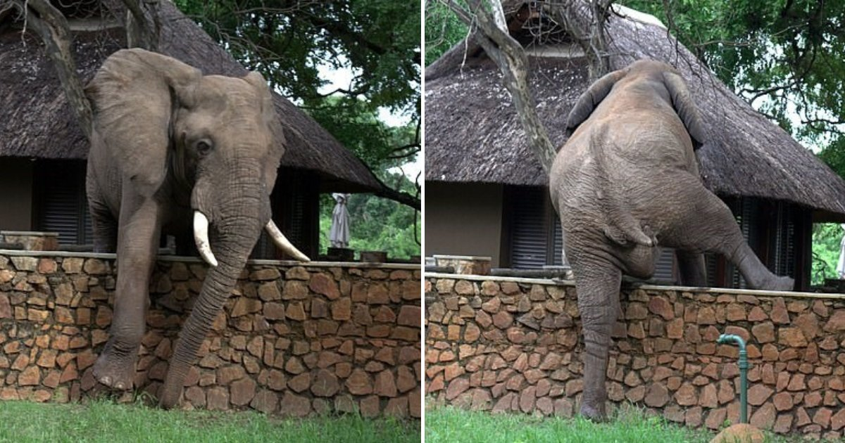 untitled design 20.png?resize=1200,630 - Clever Elephant Climbed A Wall To Try To Steal Mangoes From A Nearby Lodge Tree