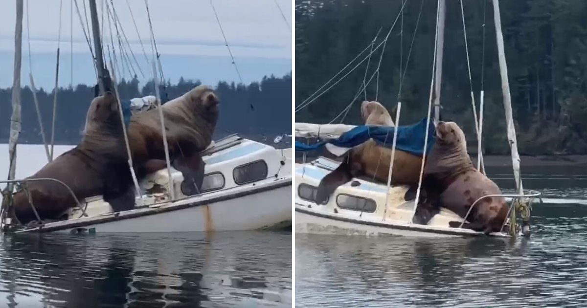 untitled design 39 1.png?resize=1200,630 - Giant Sea Lions Caught On Camera Chilling On A Small Boat