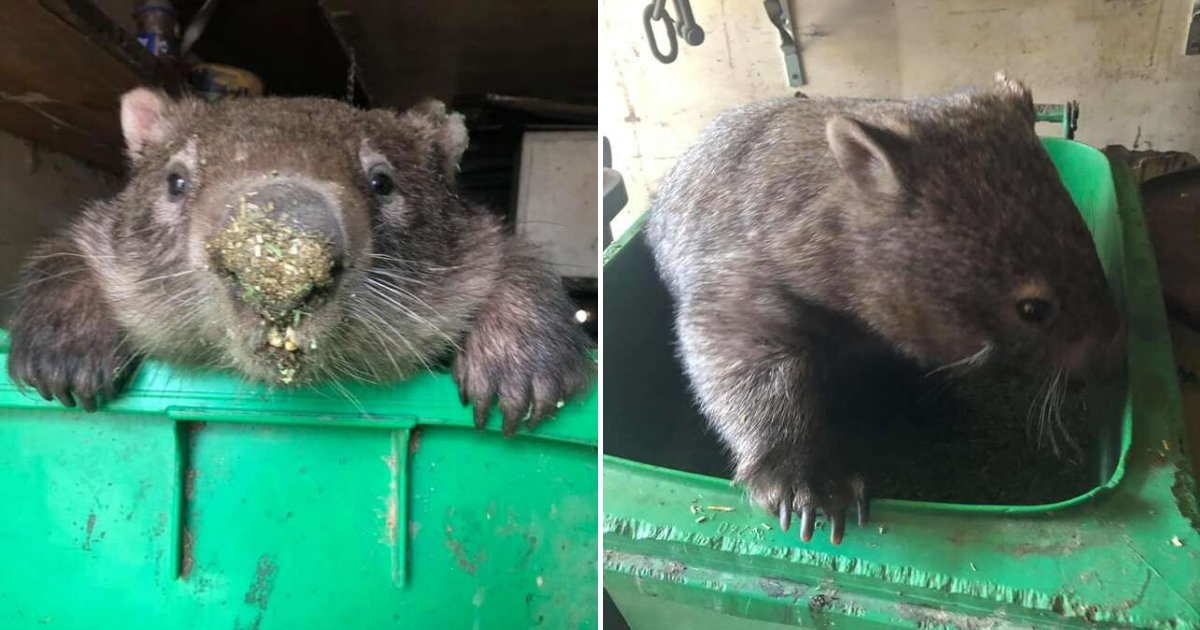 untitled design 4 3.png?resize=1200,630 - Chubby Wombat Stuck In Food Bin After Stealing Treats From Rescuers