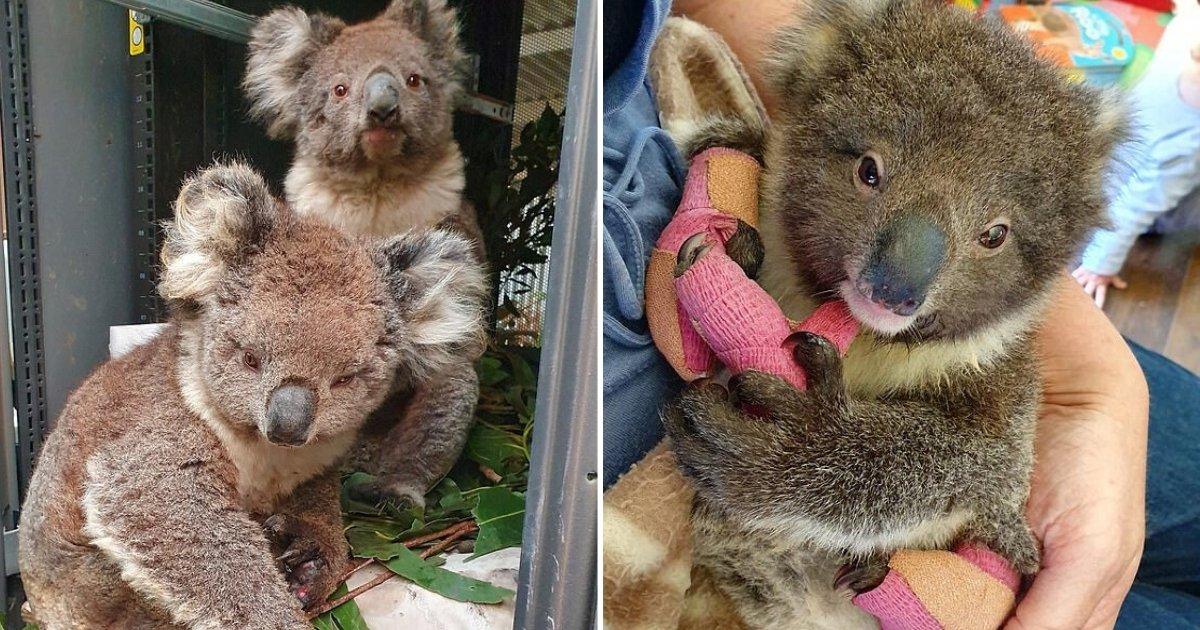 untitled design 68.png?resize=1200,630 - Over 20,000 Koalas Died As Bushfires Burned Half Of The Popular Kangaroo Island