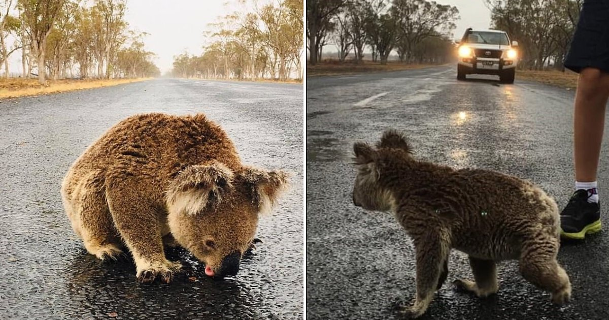untitled design 71 1.png?resize=1200,630 - Heartbreaking Moment Thirsty Koala Was Sipping Rainwater Off The Road