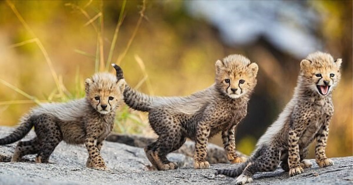 untitled design 84 2.png?resize=1200,630 - Adorable One-Week-Old Cheetahs Spotted 'Dominating' The National Park