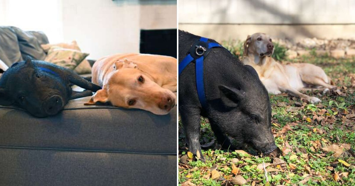 untitled design 89 1.png?resize=1200,630 - Unusual Best Friends: Dog And Pig Meet For Playdates Every Week
