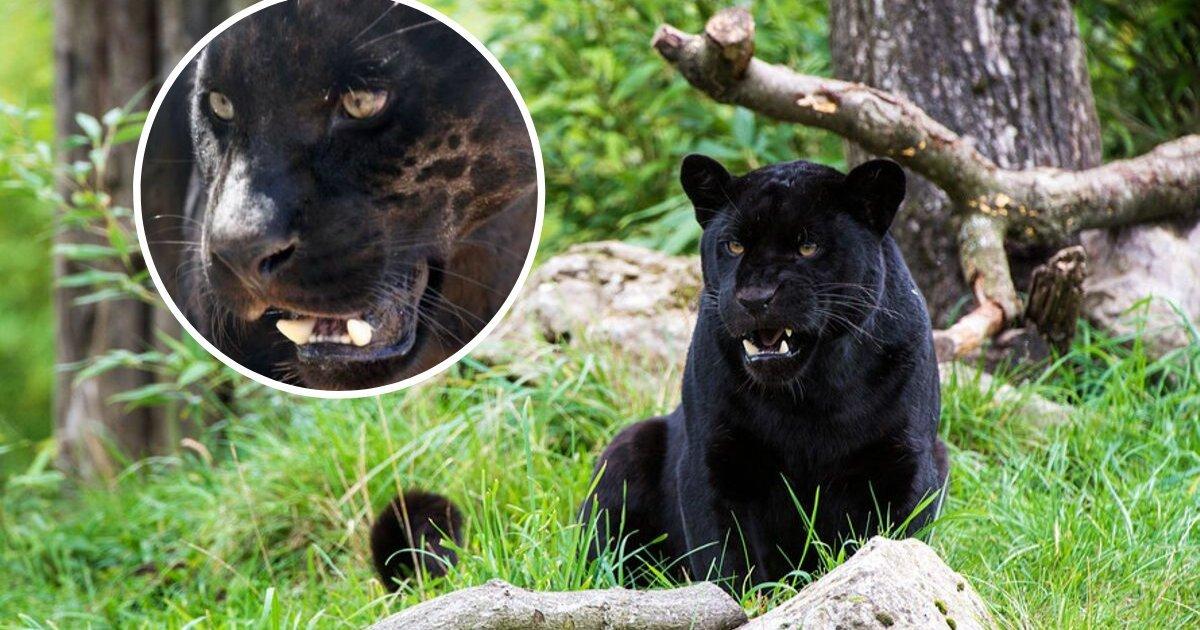 untitled design 97 1.jpeg?resize=1200,630 - Hayvanat Bahçesi Yetkilileri Selfie Çeken Kadına Saldıran Jaguarı Uyutmayı Reddetti