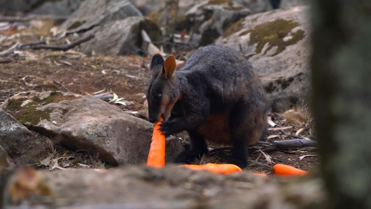 wallaby.jpg?resize=1200,630 - Incendies en Australie: des carottes sont envoyées par les airs aux wallabies