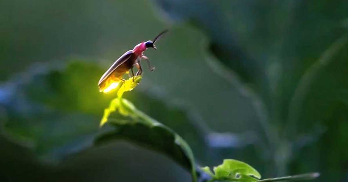 11 9.jpg?resize=412,275 - Fireflies Risk Extinction from Habitat Loss, Pesticides and Artificial Light