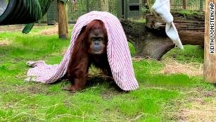 Sandra the orangutan, freed from a zoo after being granted 'personhood,' settles into her new home