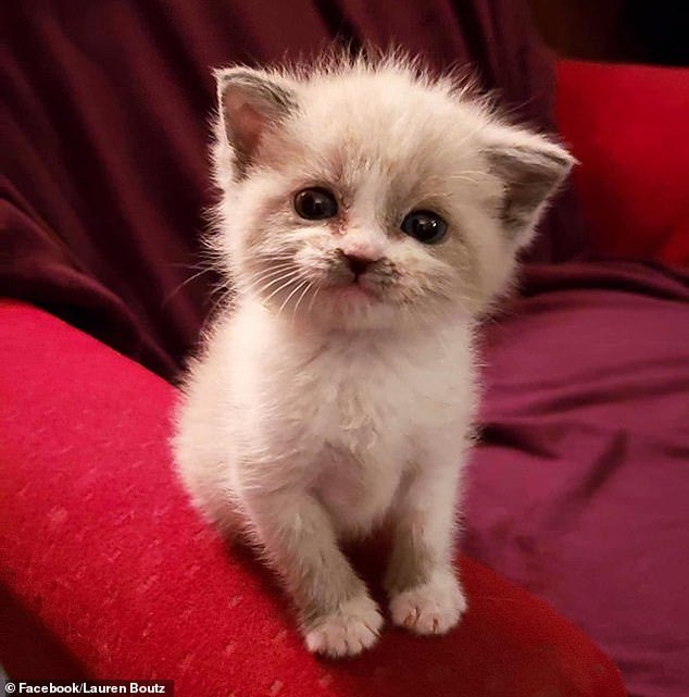 Cutie: A foster kitten called Blossom has become a viral sensation after images of the feline