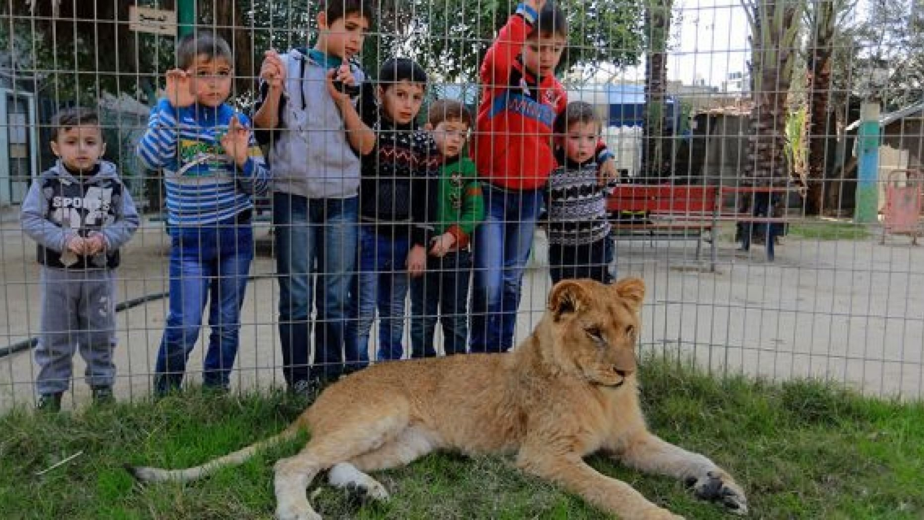 Palestinian children look through the fence of a lion cage at the Rafah Zoo in Gaza City, Gaza on February 13, 2019. Gaza
