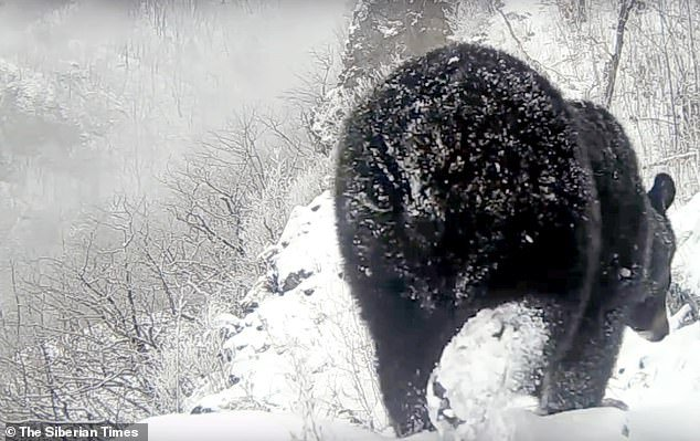 Police have established the identities of the men who disturbed the bear, but not released their names. Pictured: A Himalayan bear in the Far East of Russia