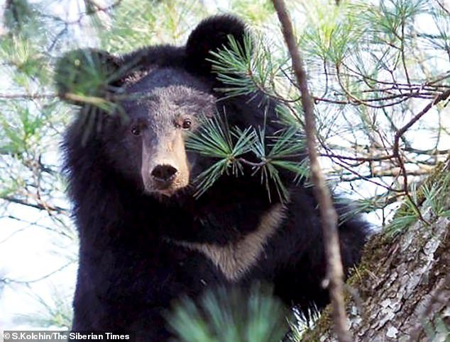 The regional department for Wildlife Control, Protection and Regulation have said that the mother bear survived the encounter. Pictured: A Himalayan bear in the Far East of Russia