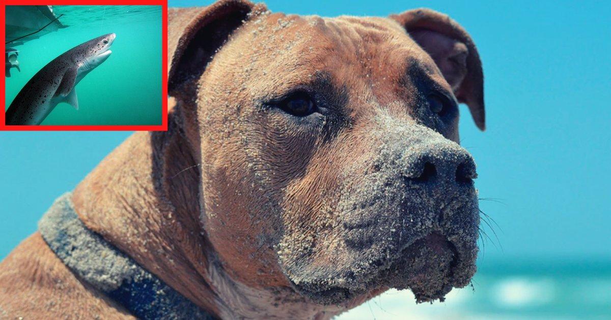 1perro.png?resize=412,232 - ¡Este Perro Salva A Su Amo De Una Mortal Mordida De Un Tiburón De Dos Metros!