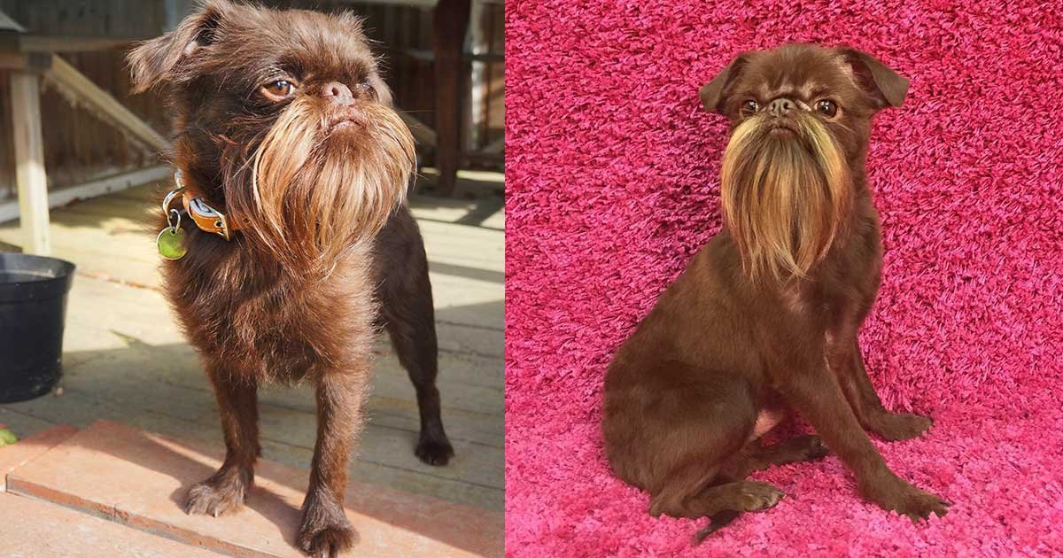 2 panel 18.jpg?resize=1200,630 - A Dog Known As 'Chewbacca' Puts Any Hipster's Beard To Shame