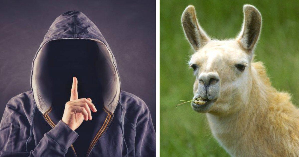 2llama.png?resize=412,232 - ¡Estos Ladrones Se Detienen Para Darle De Comer A Unas Llamas, Mientras Saquean Una Granja!