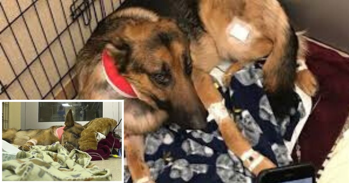 4 56.png?resize=412,232 - Dog Gets Shot Four Times To Save His Teenage Owner From Burglars