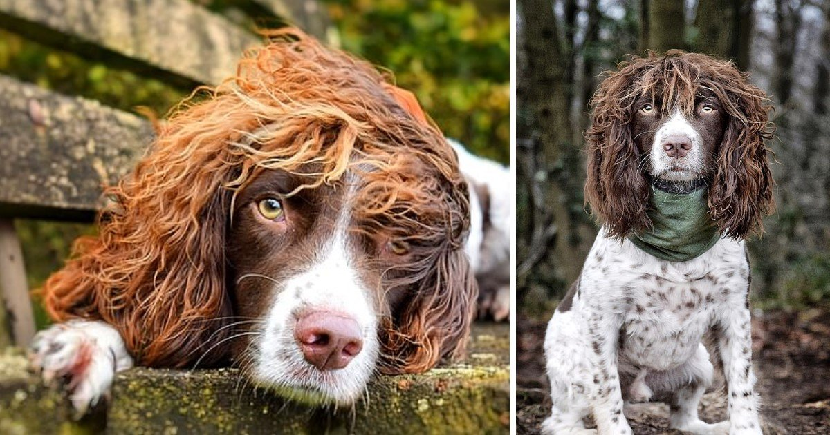 4 84.jpg?resize=412,232 - Springer Spaniel With 'Rockstar' Curly Hair Gained Thousands Of Followers With Offers To Promote Businesses