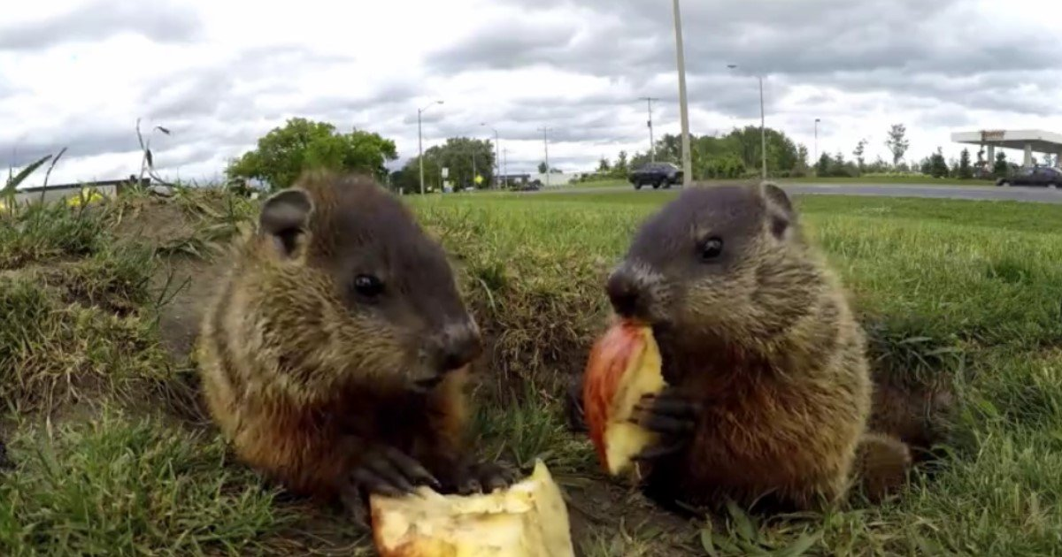 5 60.jpg?resize=412,232 - A Pair Of Adorable Groundhogs Happily Munched On Apple Slices While Enjoying The Sunlight