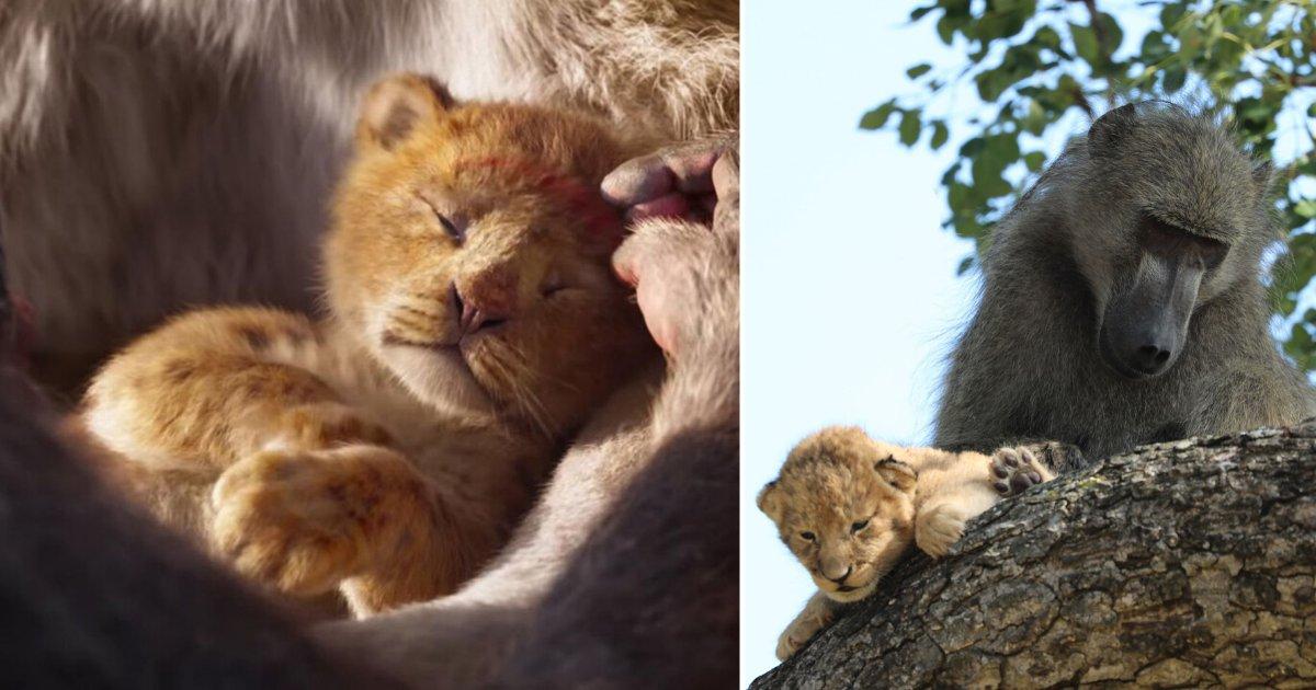 6 9.png?resize=412,232 - Les vrais Rafiki et Simba ont été pris en photo dans la nature