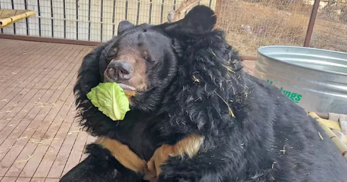 b3 13.jpg?resize=412,232 - Obese Asiatic Bear Has Been Put On A Diet Following Rescue From An Unhealthy Life