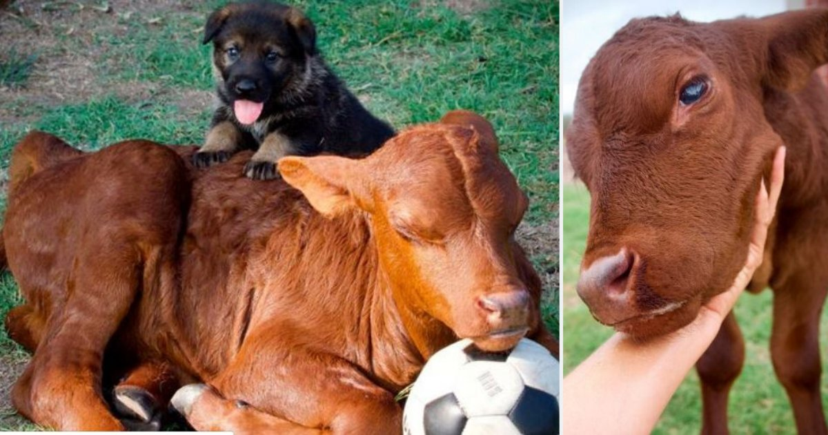 d2.png?resize=1200,630 - Adopted Calf Believes That He is a Pup After Living With a Family of German Shepherd