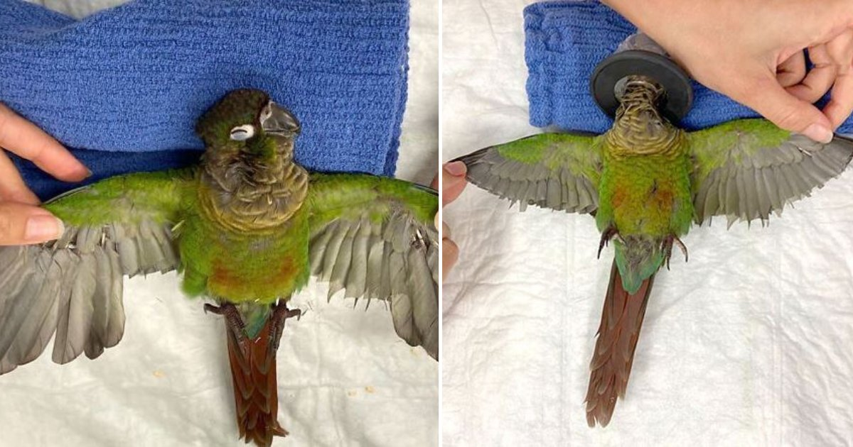 d5 7.png?resize=412,232 - A Vet Gave New Wings to This Parrot As They Were Cut Down By Its Owner