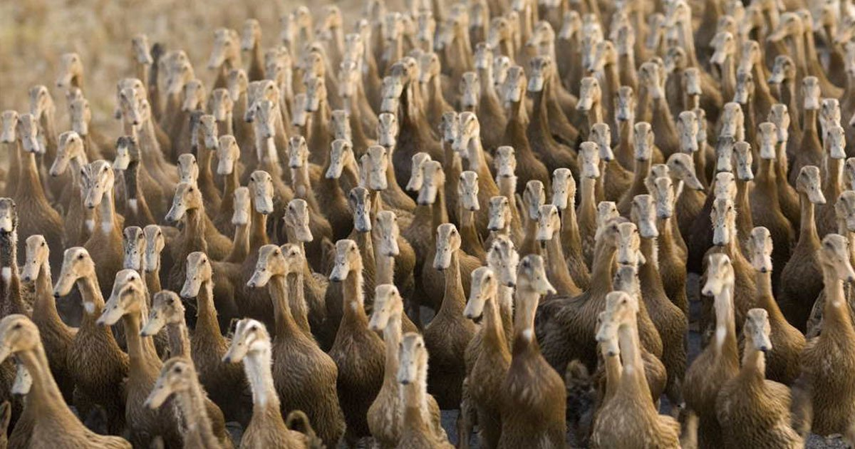 duck army.jpg?resize=1200,630 - China To Unleash An Army Of 100,000 Ducks To Fight In Pakistan