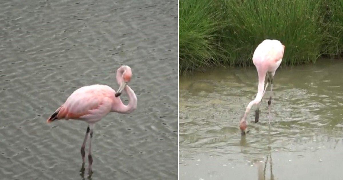 f3 6.jpg?resize=412,275 - Gorgeous Pink Flamingo Started Enjoying Its Meal Within Sight Of Amazed Tourists