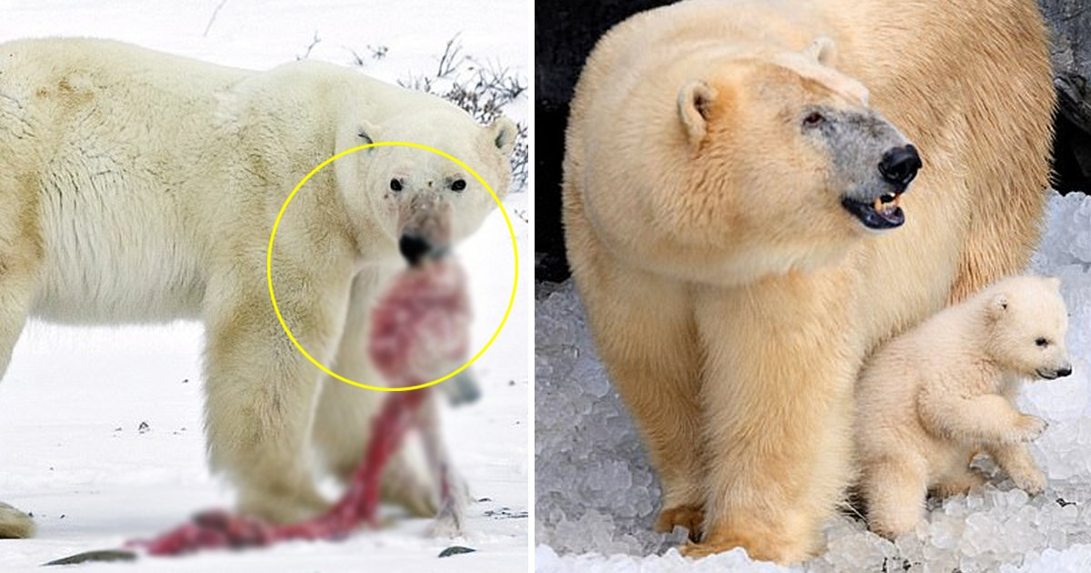 gggg.jpg?resize=1200,630 - Polar Bears Forced Into Cannibalism With Large Bears Attacking Female Bear With Cubs Due To Fossil Fuel Extraction And Climate Change