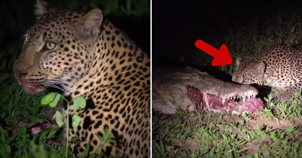 leopard7.png?resize=1200,630 - Fearless Leopard Risked Its Life To Steal Food From A Crocodile's Mouth