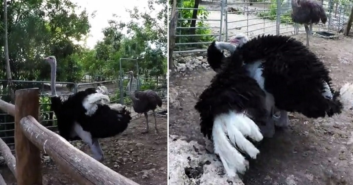 o3.jpg?resize=1200,630 - Giant Ostrich Showed Off His Moves To Get Attention