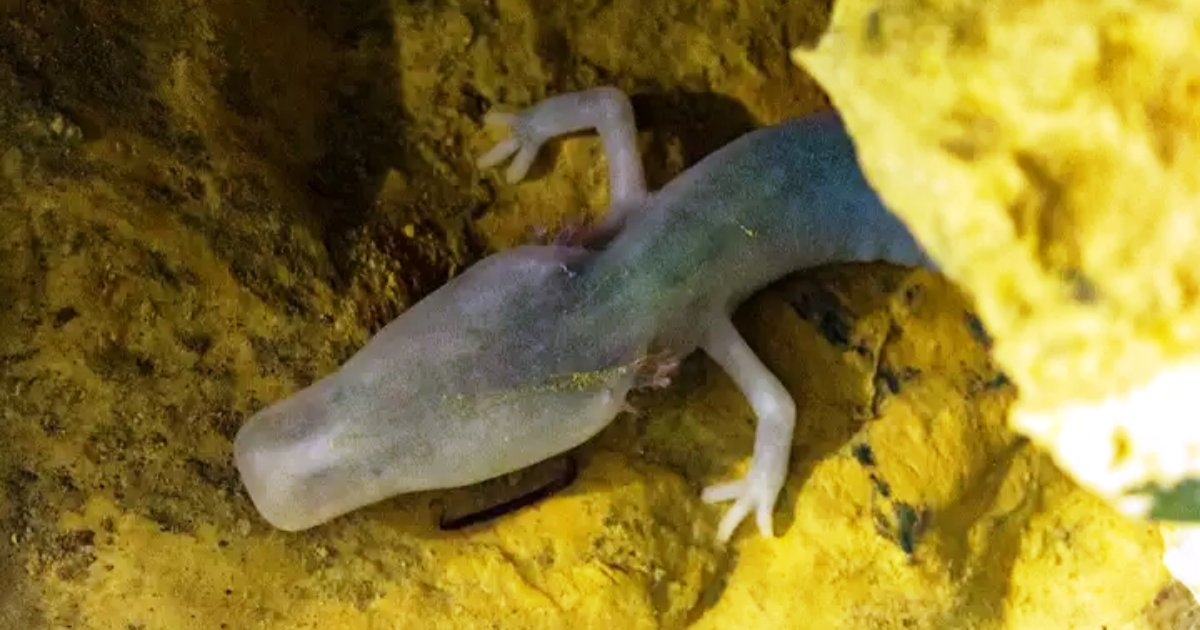olms.png?resize=1200,630 - Rare Salamander Didn't Move From Its Position For Seven Long Years!