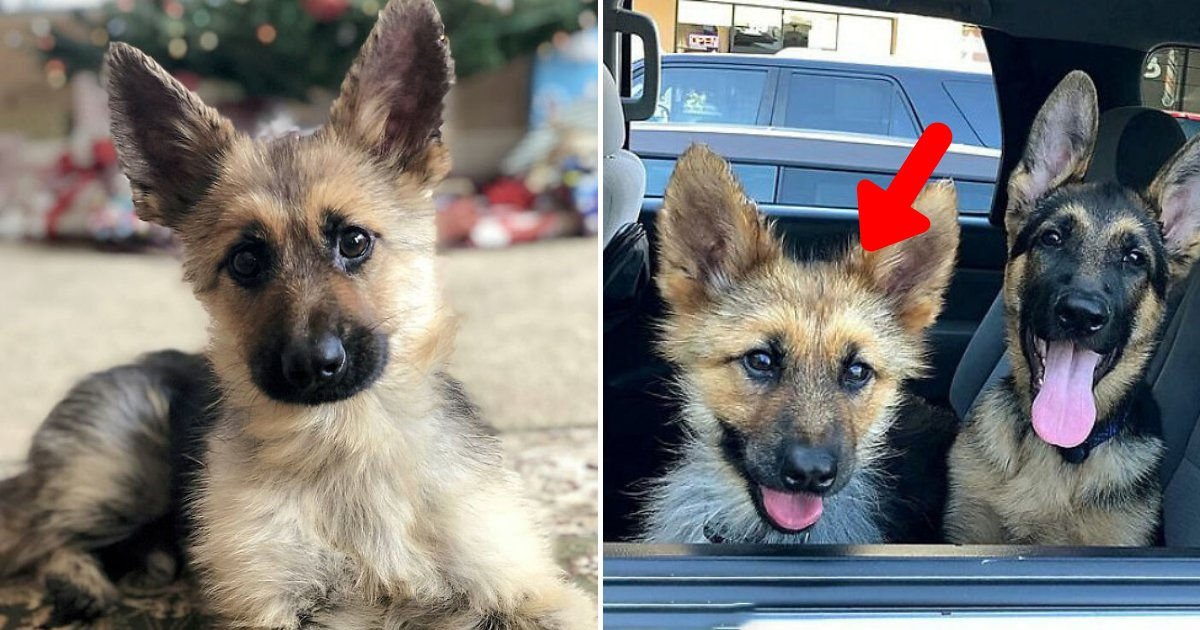 ranger6.png?resize=1200,630 - Adorable German Shepherd With Dwarfism Will Look Like A Tiny Puppy Forever
