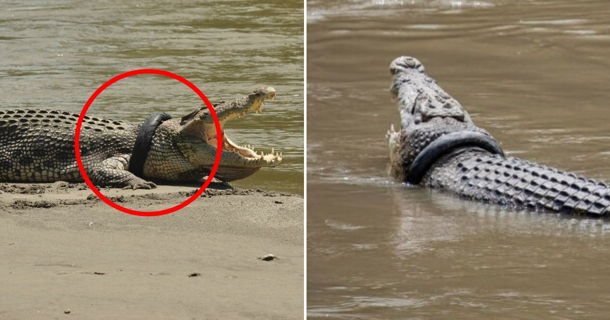 tire6.png?resize=1200,630 - Big Reward Offered To Anyone Who Can Remove The Tire From This Crocodile's Neck