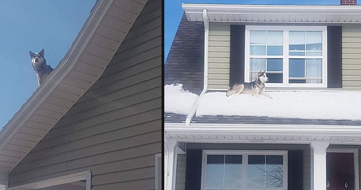 untitled 1 101.jpg?resize=1200,630 - Cop Called This Guy To Inform Him That His Husky Is Sitting On The Roof Of His House