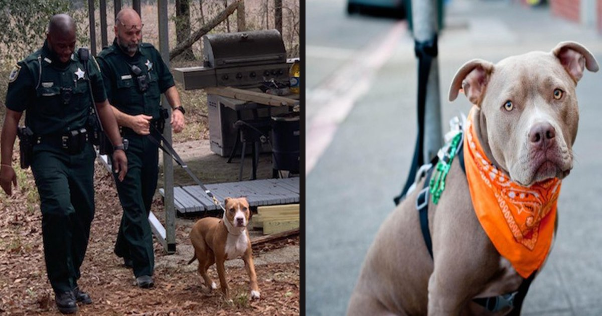untitled 1 80.jpg?resize=412,232 - Hero Pit Bull Protected His Lost Owner Until The Child Was Found By The Police