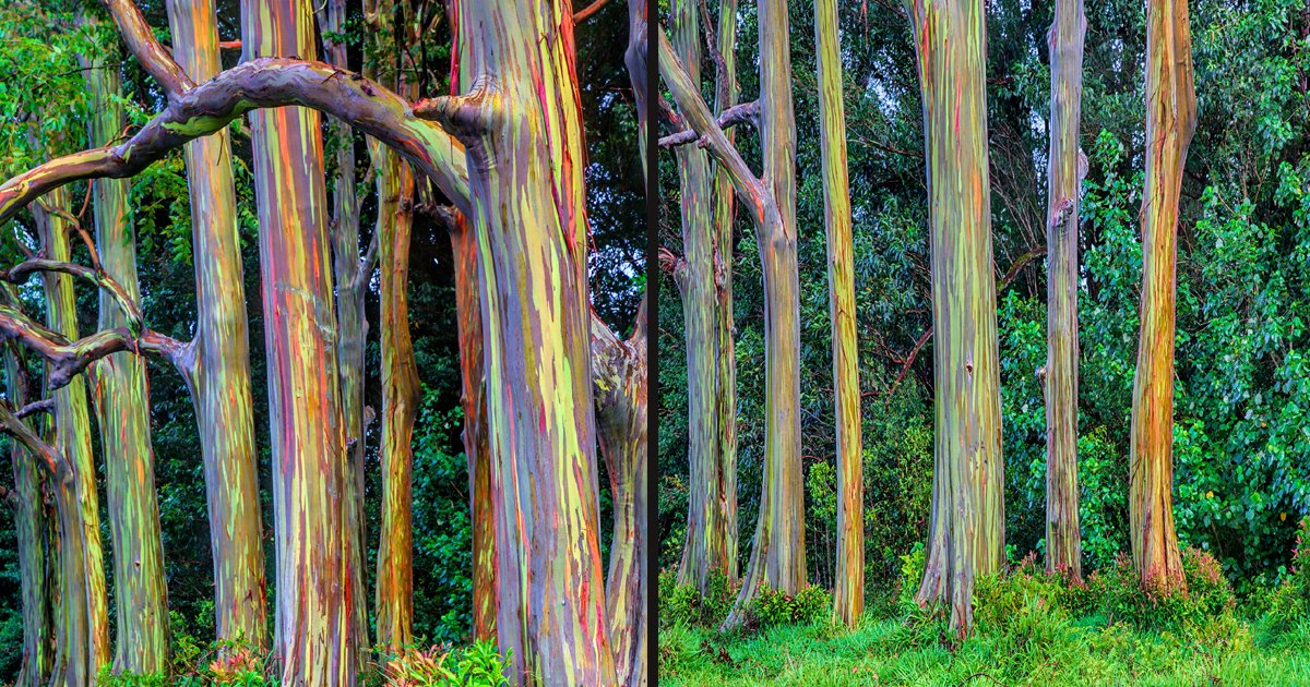 untitled 1 87.jpg?resize=412,232 - Rainbow Eucalyptus Trees Are One Of The Most Colorful Trees