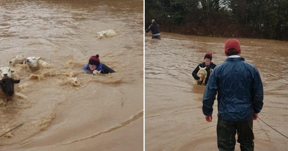 untitled design 74.png?resize=1200,630 - Une agricultrice a plongé dans une rivière déchaînée pour sauver ses moutons et ses agneaux de la noyade