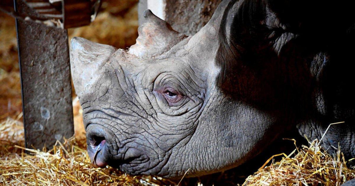 vonjour1 2.png?resize=300,169 - Un rhinocéros noir du zoo de Pont-Scorff est mort à cause de sa vie passée en captivité