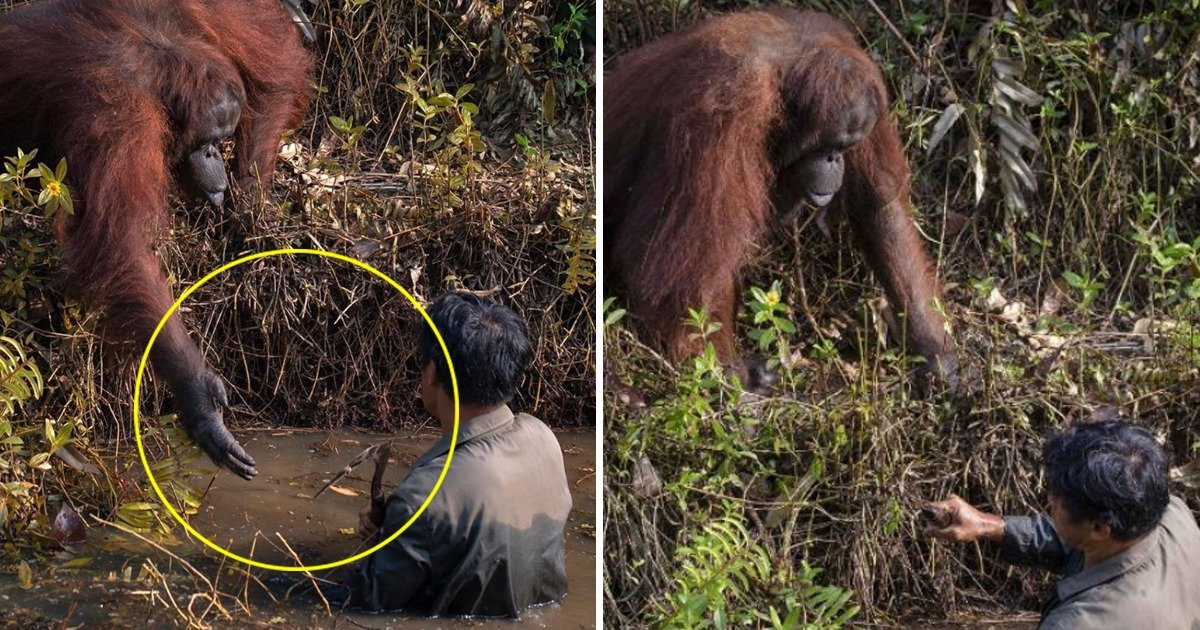 whatsapp image 2020 02 08 at 7 01 04 pm.jpeg?resize=1200,630 - Orangutan In Borneo Lends A Helping Hand To The Man Stuck In Snake Infested Water
