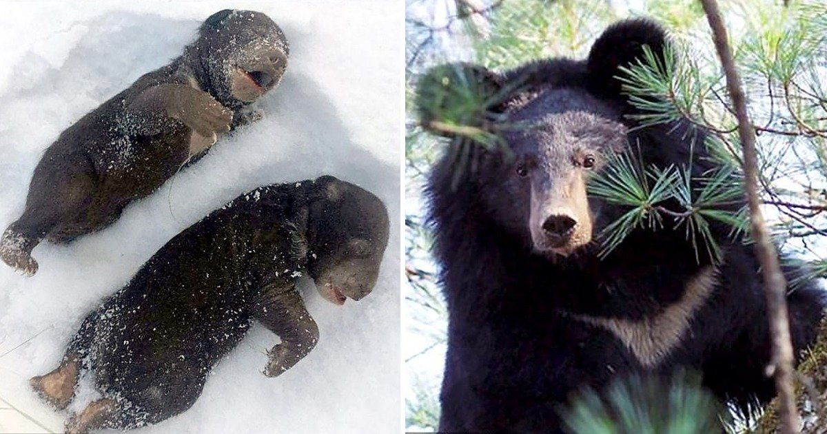 whatsapp image 2020 02 28 at 5 31 08 pm.jpeg?resize=1200,630 - Bear Cubs Freeze To Death After Mothe Woke Up And Attacked With A Chainsaw By Drunk Wood Cutters