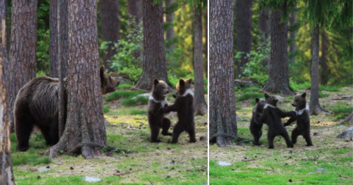 1 51.png?resize=412,232 - Teacher Captures Dancing Bear Cubs in the Woods While Pursuing Photography Hobby