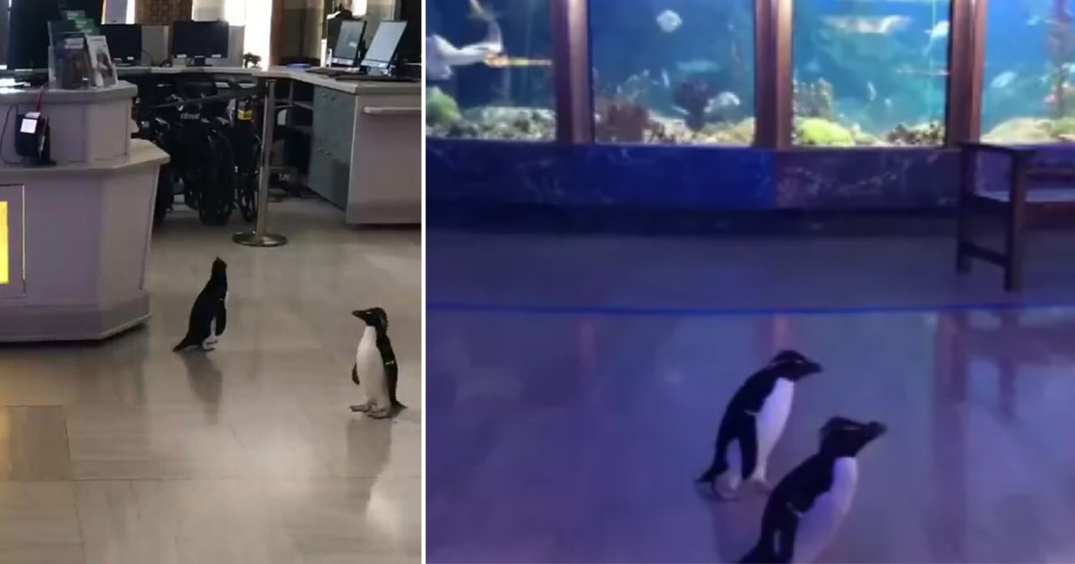 12 4.png?resize=412,232 - Penguins Enjoyed Going on a Field Trip to the Aquarium While it was Closed for Humans