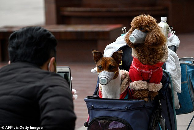 A man takes photos of dogs wearing masks in a stroller in Shanghai. All pets of people in Hong Kong infected with the coronavirus will be quarantined for 14 days, starting Friday. Two dogs are already in isolation