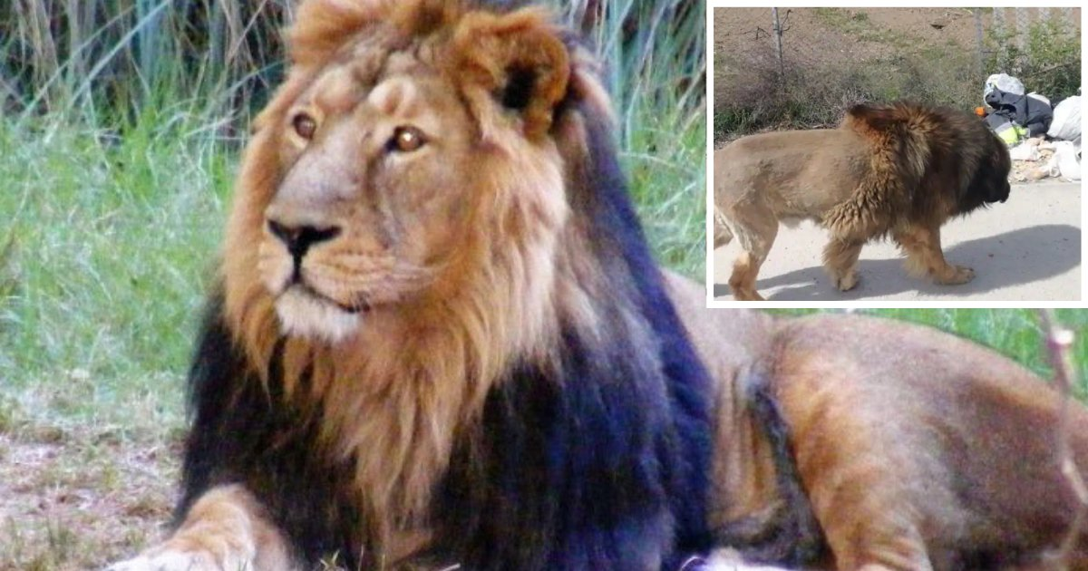 2 33.png?resize=412,232 - Twitter is Going Crazy Over a Dog Who Has Been Mistaken for a Lion
