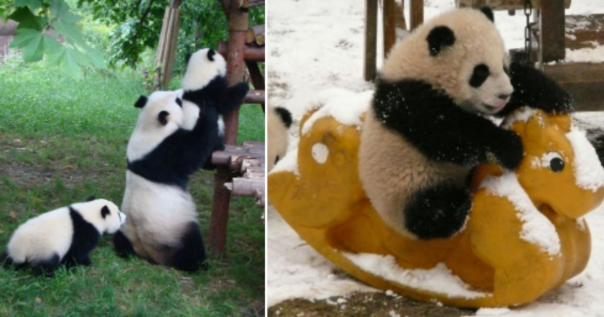 6 31.png?resize=1200,630 - There is Panda Daycare and it is The Most Adorable Place in The World