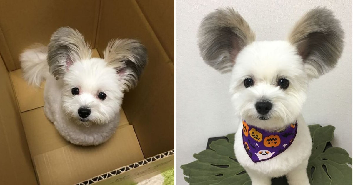 d6 3.png?resize=412,232 - This Dog Has Mickey Mouse Ears and We Can't Get Over This Adorable Furry Pouch