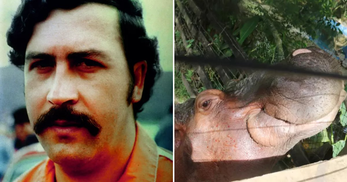 hippo6.png?resize=412,232 - Pablo Escobar's Pet Hippos Could Save Species From Extinction